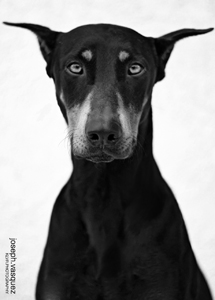Doberman looking mean