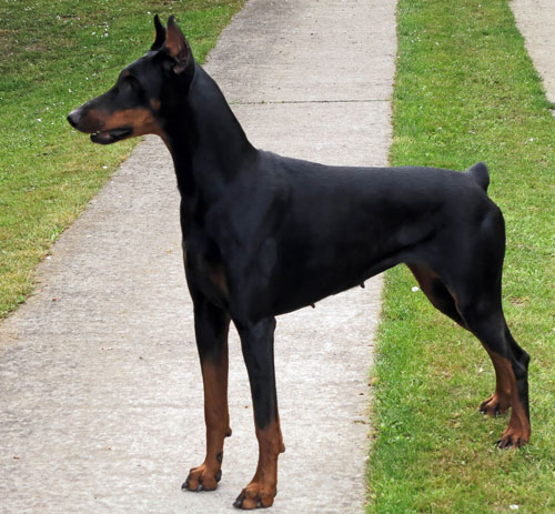 Doberman Pinscher guard dog