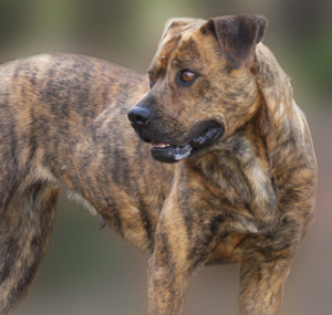 Guard dog looking intimidating