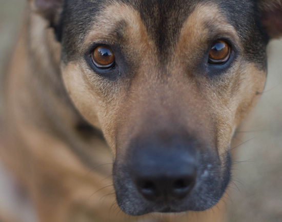 Dogs for home security - Close up of regular dog