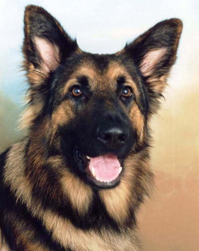 Alsation dog - close up