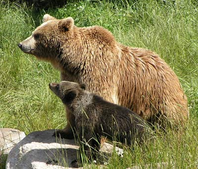 Mamma bear with her cub