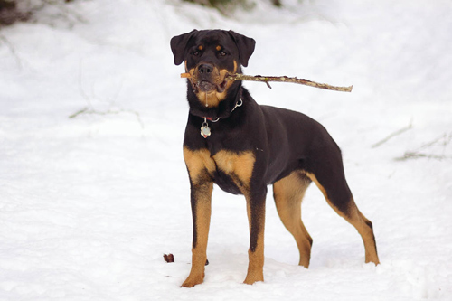Rotweiler dog in the snow with stick in it's mouth
