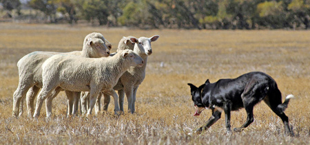 A wolf or sheepdog herding a group of  sheep