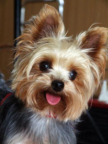 Yorkshire terrier dog looking cute