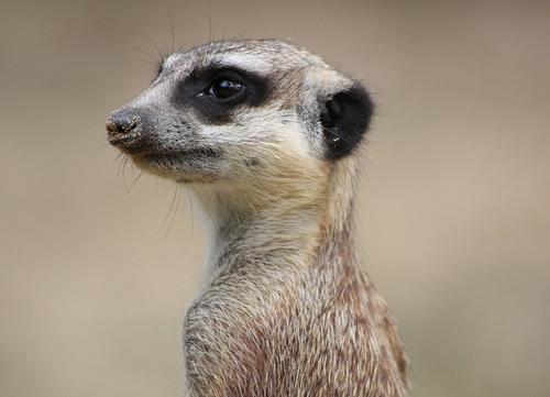 Awareness - Meerkat watching out for predators